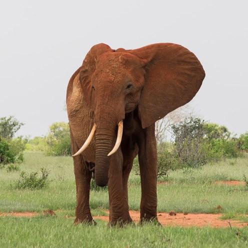red-soiled-elephant-pose-tsavo-east