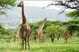 tanzania_ngorongoro_crater_girafs_002
