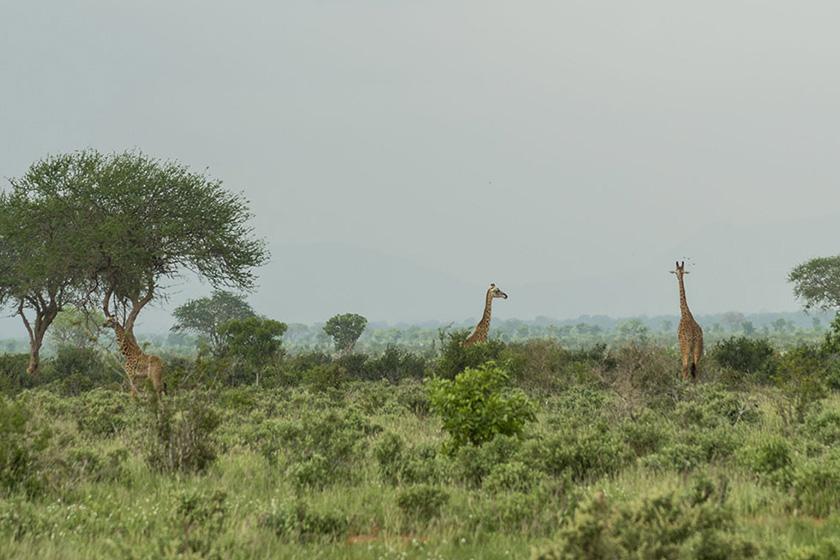 tsavo-giraffes-mombasa-safaris-sunday-best