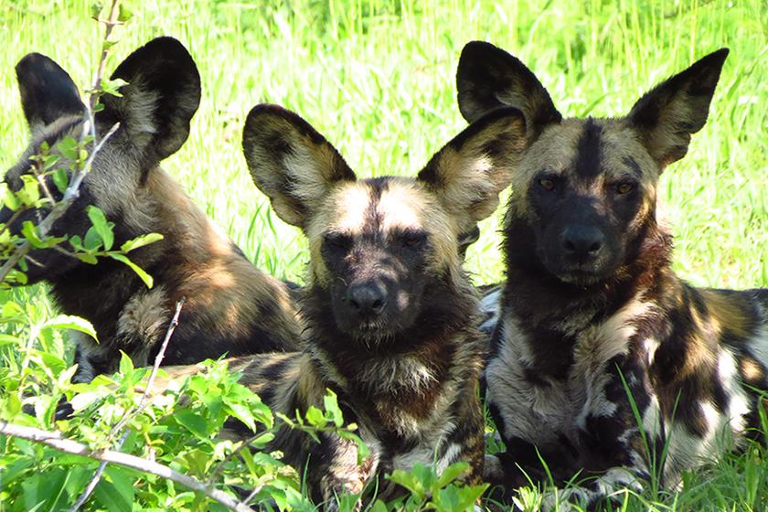 wild-dogs-kenya-safari-sunday-best
