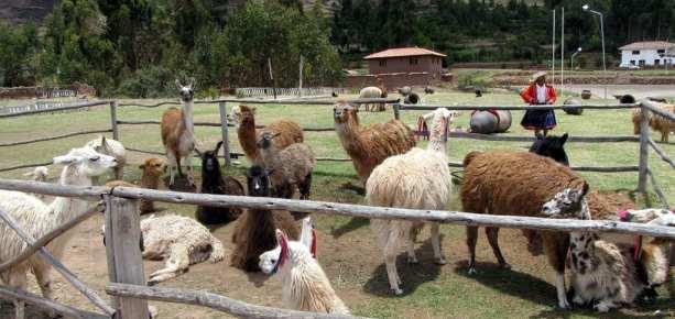 Valle Sagrado - Pisac - lhama, lhama, lhama, lhama, lhama