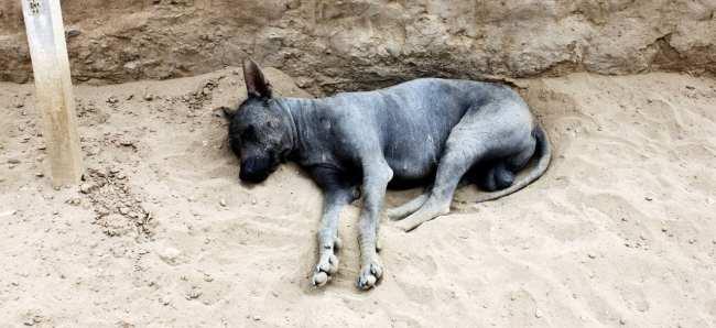 Sítios Arqueológicos de Trujillo - Huaca Esmeralda 3 Cachorro pelado peruano