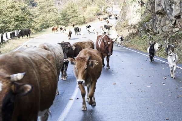 Vacas, cabras, ovelhas e até porcos na estrada, uma constante por toda a Geórgia