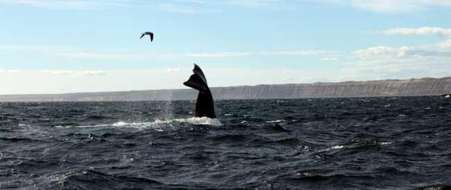 Provincia de Chubut - avistando baleias 3