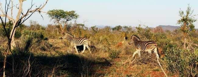 O que levar na mala África do Sul - zebras