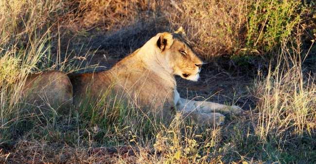 O que levar na mala África do Sul - leões
