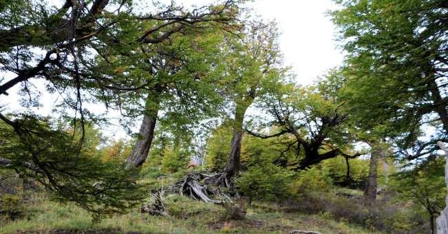 Torres del Paine Patagonia Chilena - bosques de Nothofagus