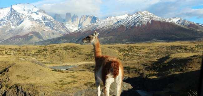 Torres del Paine Patagonia Chilena - Guanaco Sentinela