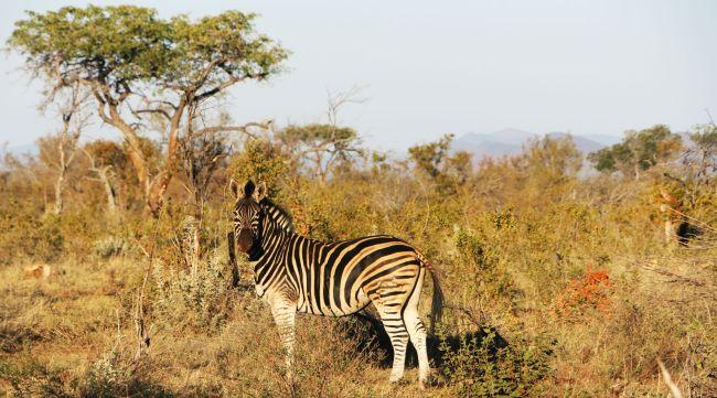 Fazer safari na África - zebra