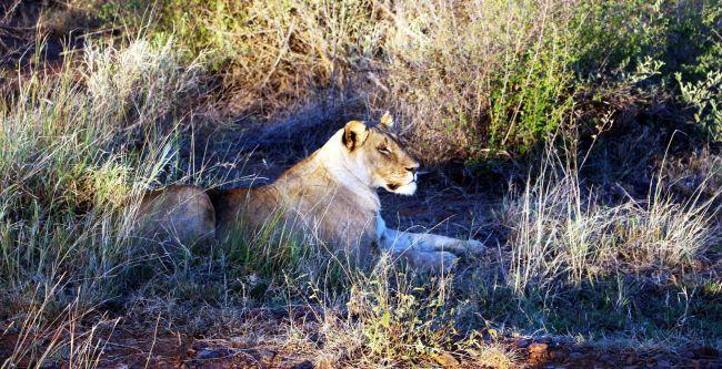 Fazer safari na África - leão
