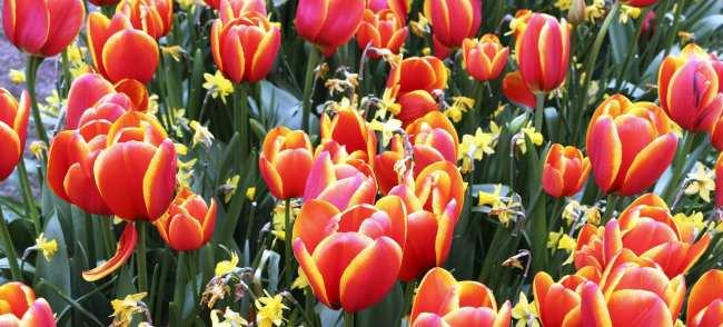 Como ir ao Keukenhof na holanda - jardim de tulipas perto de Amsterdã - 10