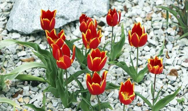 Como ir ao Keukenhof na holanda - jardim de tulipas perto de Amsterdã - 15