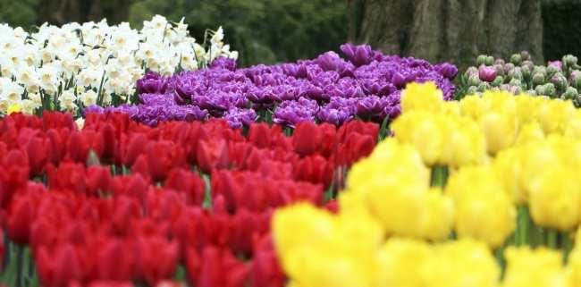 Como ir ao Keukenhof na holanda - jardim de tulipas perto de Amsterdã - 17