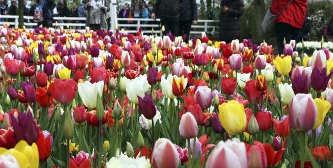 Como ir ao Keukenhof na holanda - jardim de tulipas perto de Amsterdã - 24