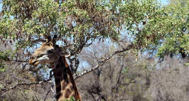 Kruger Park, safári pela África do Sul - 14