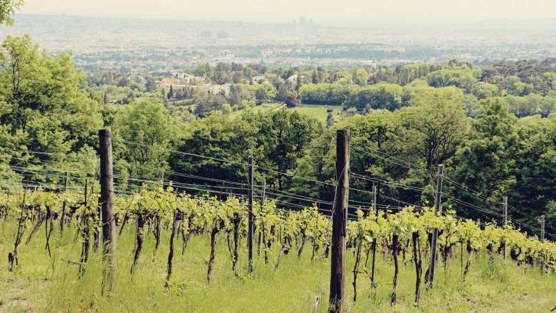 Viena e a tradição dos seus vinhos - maiores vinhedos urbanos da Europa - 06