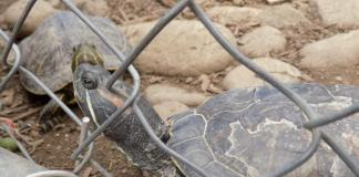 turtles shown in their temporary habitat