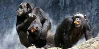 Photo shows 3 chimpanzees