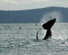 orcas_06