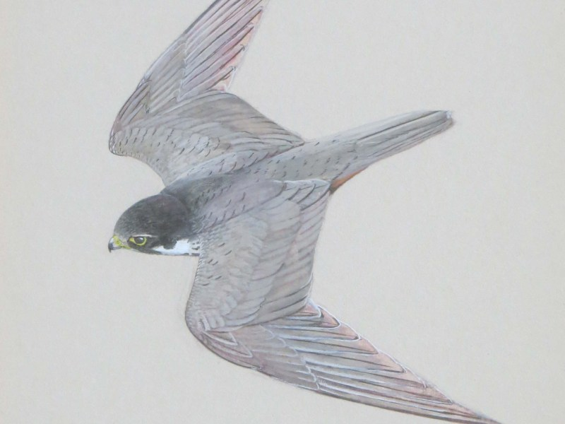 Watercolour and body colour illustration of a peregrine falcon by Ken Wood, wildlife artist.