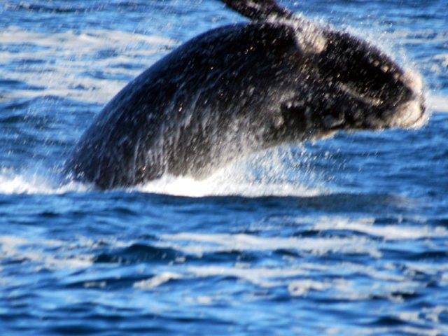 Hermanus-Breaching-Whale