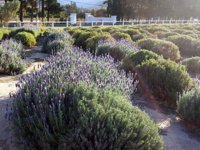 Lavender-Bushes
