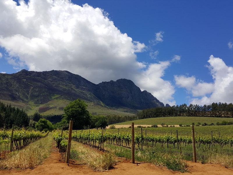cape-vineyards
