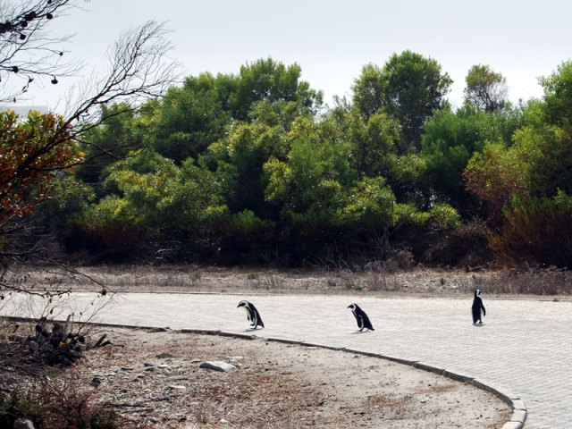 robben-island-penguins