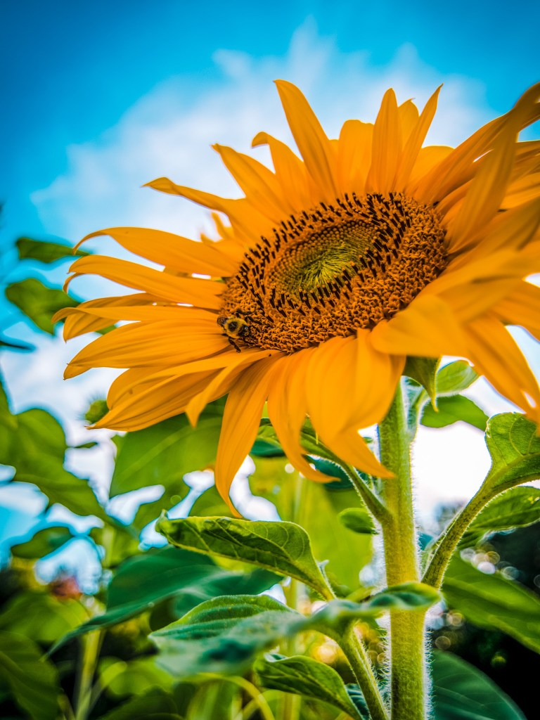 sunflower flower yellow field markham gta toronto