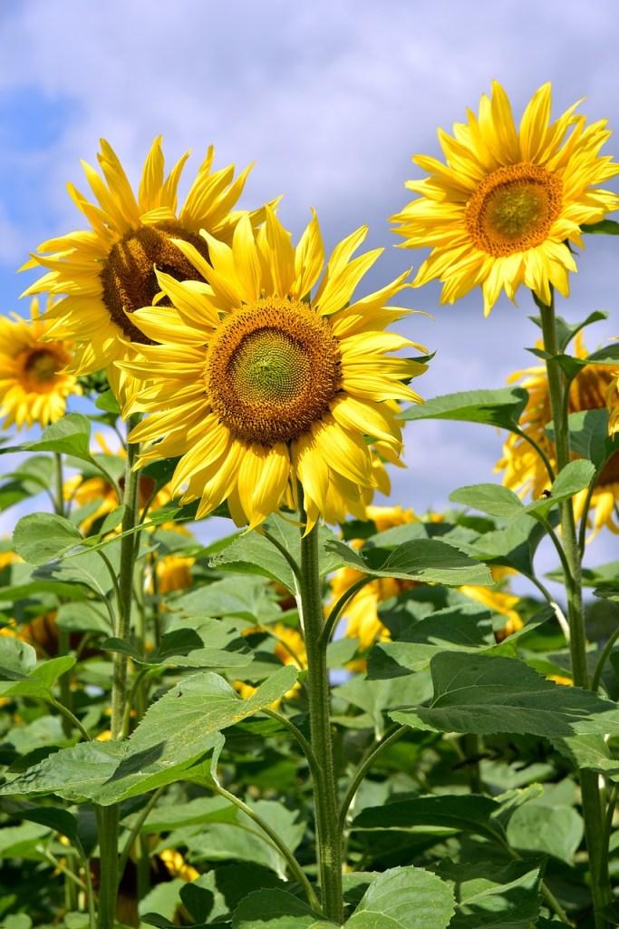 contact, sunflower, upright, sunflower field