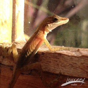 This is Senor Gecko (or anole as I've been told) who arrived yesterday and seems committed to overseeing kitchen duties. I should note that this is a really close up pic and the good senor is really very tiny.
