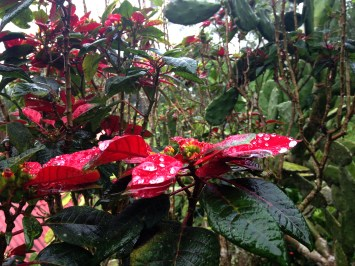 What happens in Costa Rica when you're done with your Christmas poinsettia? Well, you can put it in the ground and in 10 years it grows into this grand bush.
