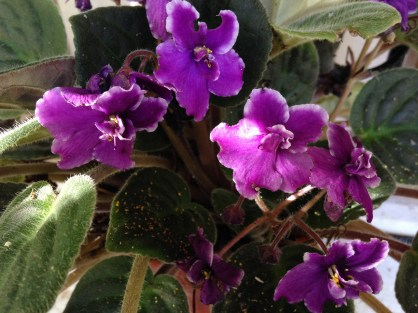 African violets love it here