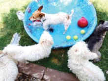 Puppies enjoying a dip on a hot summer day!