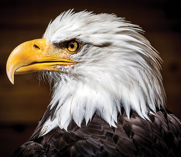 Portrait of a Bald Eagle by Jan Williams