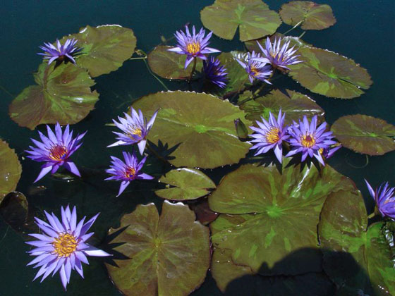 Water Lily Pond Depth