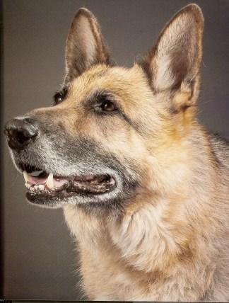 Caya (German Shepherd)