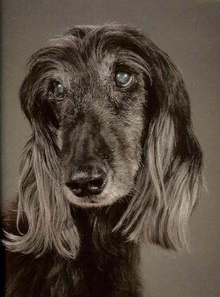 Racket (afghan hound)