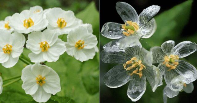 Δείτε τα απίστευτα σκελετό λουλούδια που γίνονται διάφανα όταν βρέχει