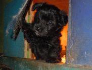 YorkiPoo puppies