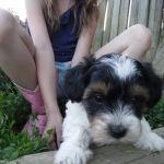 YorkiePoo Puppies for sale, HavaPoo Puppies, Small Non-shedding, hypoallergenic