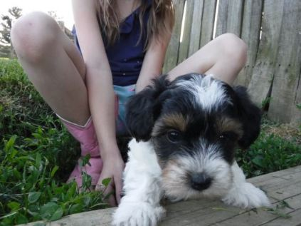 YorkiePoo Puppies for sale, HavaPoo Puppies, Small Non-shedding, hypoallergenic