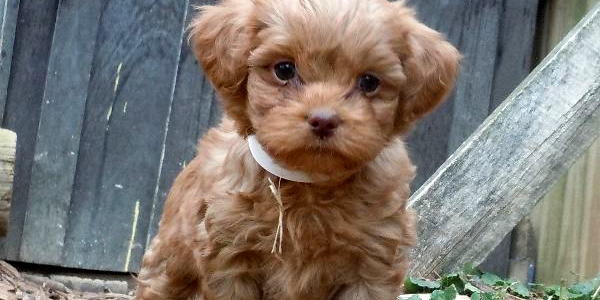 Shih tzu poodle for sale in mn