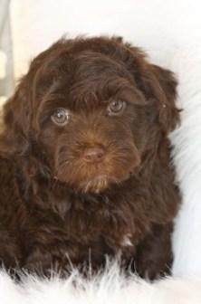 yorkiepoo-yorkie-poo-puppy-picture