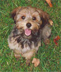 YorkiPoo Puppy