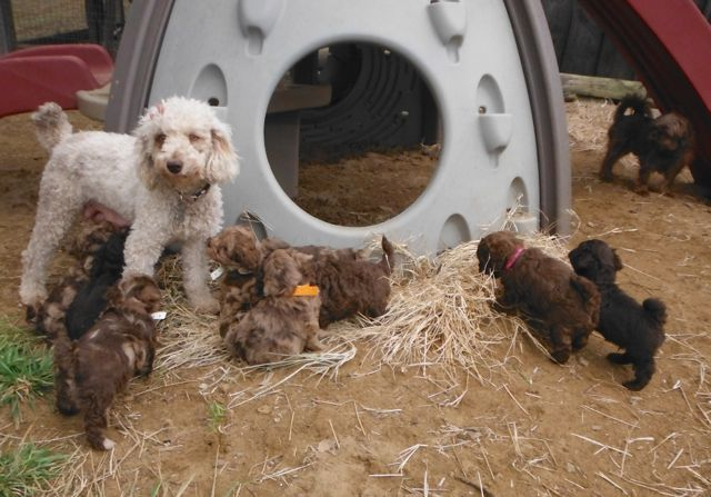 ShihPoo puppies for sale ShihTzu Mini Poodle mix breed