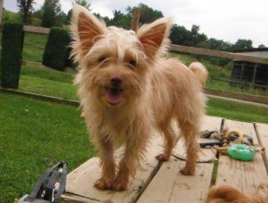 Golden Blonde Yorkshire Terrier puppies for sale breeder
