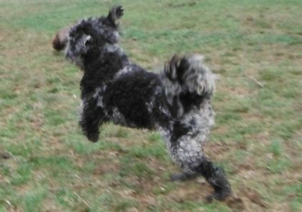blue black merle toy poodle yorkipoo puppies for sale breeder
