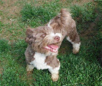 Chocolate Tuxedo Havanese mix breed puppies for sale breeder