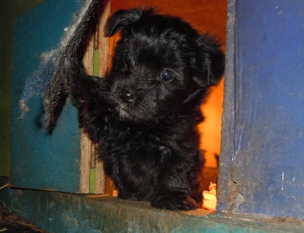 Black YorkiPoo puppies for sale breeder OH